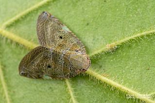 Moth-like planthopper (Ricaniidae) - DSC_8812