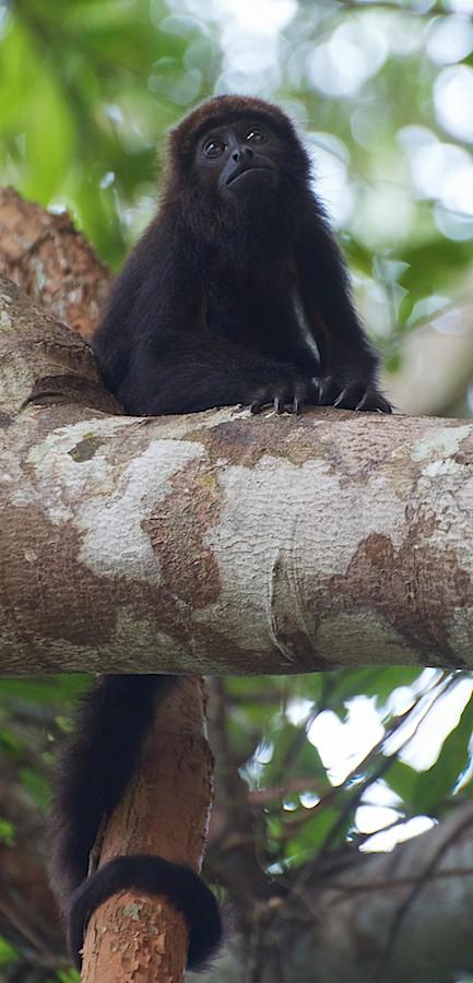 Brown howler (Alouatta guariba) youngster