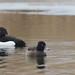 Tufted Duck  /Vigg (Aythya fuligula)