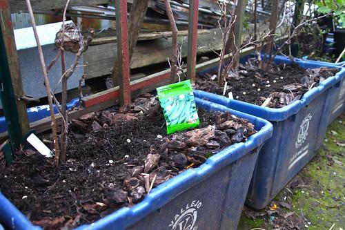 Sowing Sugar Snap Peas | by joeysplanting