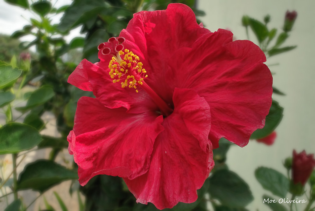 Red Hibiscus Hibiscus Also Known As Arhul In Hindi Is A Me Flickr
