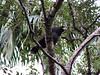 Águila Negra / Buteogallus urubitinga / Great Black-Hawk. by ING. R.N.R.