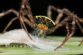 St Andrew's Cross Spider (Argiope versicolor) - DSC_6893 | by nickybay