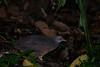 "Little Tinamou (Crypturellus soui), ""Two Tanks"" road, near Chiriqui Grande, Panama by palmchat"