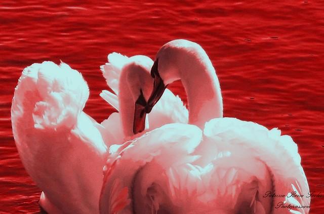 The Loving Swans