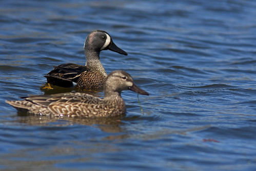 Blue-winged Teal | by Stephen J Pollard (Loud Music Lover of Nature)