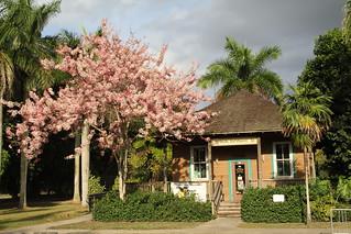 Cassia Javanica (Apple Blossom Cassia, Pink Shower Tree)
