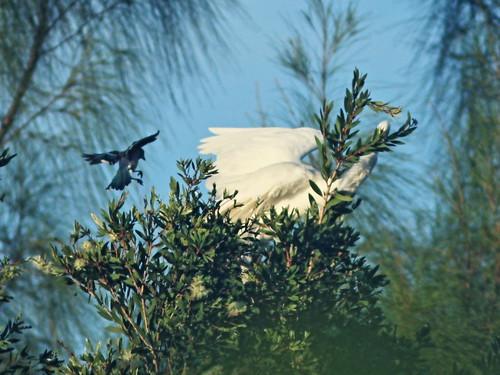 Blue Jay attacks egret 03-20160915