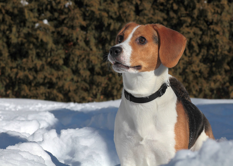 Scruff dans la neige! This dog loves snow!