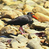 Black Oystercatcher by Mzondo