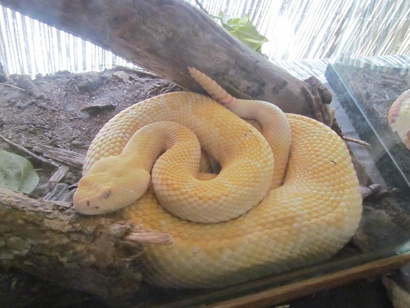 Картинки по запросу В таком цвете гремучая змея кажется беззащитной и уязвимой, нежели вселяющей страх