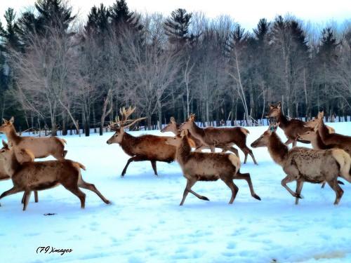 winter snow ontario canada male nature animals landscape panasonic females elk vars me2youphotographylevel1