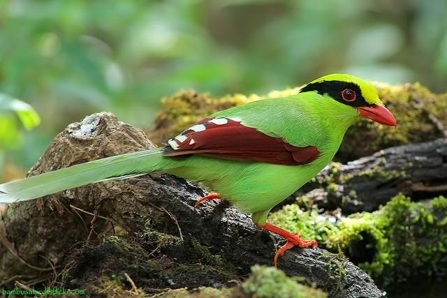 Green Magpie / Cissa chinensis / นกสาริกาเขียว