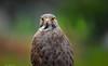 ( Butastur indicus ) Grey-Faced Buzzard by Okinawa Nature Photography