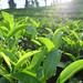 Jardin de thé dans à Nilgiri