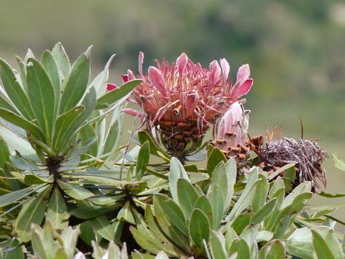 010. Protea is Zuid Afrikaas nationale bloem | by Nije-Faam.nl