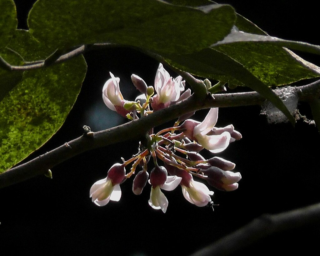 Piscidia piscipula_Fish poison tree_Fabaceae_ Rani Bagh_2012_04_11