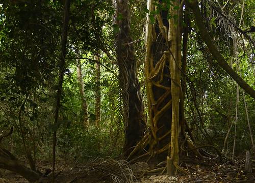 africa trees alberi rainforest fig ficus jungle westafrica foresta stranglerfig bissau guineabissau forestapluviale giungla africaoccidentale guibèbissau