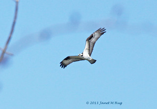 Osprey Pair Return to Highland, Michigan | by JKissnHug - Getting Back to Birding & Photography
