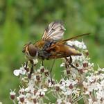 Männliche Breitflügelige Raupenfliege (Ectophasia crassipennis)