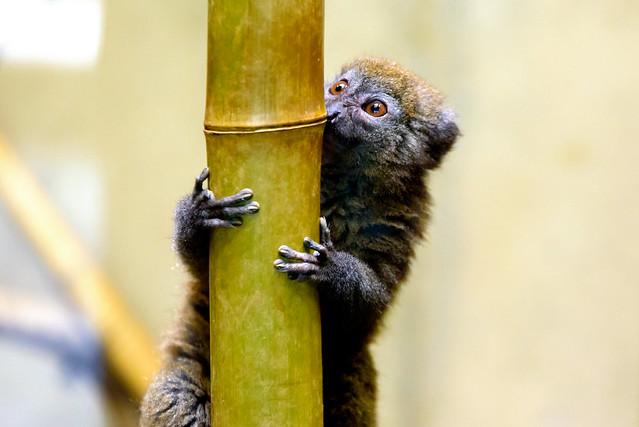 Eastern lesser bamboo lemur (Hapalemur griseus) of Ueno Zoo, Tokyo : ハイイロジェントルキツネザル(上野動物園)