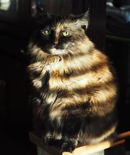 She picked the perfect spot to photograph her tonight #goldenhour #olympuspenf #olympusinspired #olympususa #zuiko40150 #catphotography #catstagram #catsofinstagram #tortoiseshellcat #tortitude #mzuiko40150mm #shadowandlight #catportrait