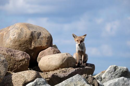 fujifilm xe2 urbanwildlife fox toughguy