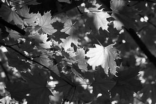 Backlit leaves | by More Ants