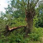 Kopfweide (Salix sp.) als Sturmopfer - das Totholz durfte an dieser Stelle des NSG Tippelsberg/Berger Mühle nicht liegen bleiben