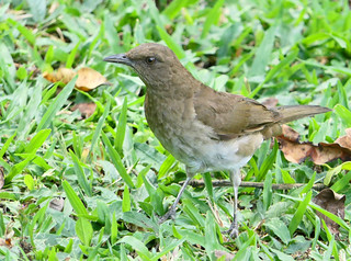 Mirla Ollera, Black-billed Thrush (Turdus ignobilis)