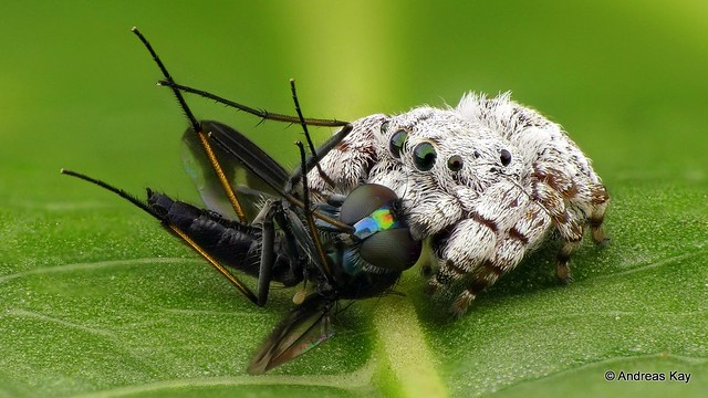 Little Jumping Spider, Beata sp., Salticidae with Fly