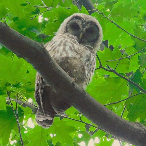 Owl 1: Whilst hiking I heard a bird call very close by. I looked up and saw this beauty looking down at me. #owl #birds #ChestnutRidge #wny #orchardpark #summer #nature #hiking