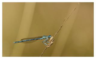 Blauwe Breedscheenjuffer | by fransmartens1