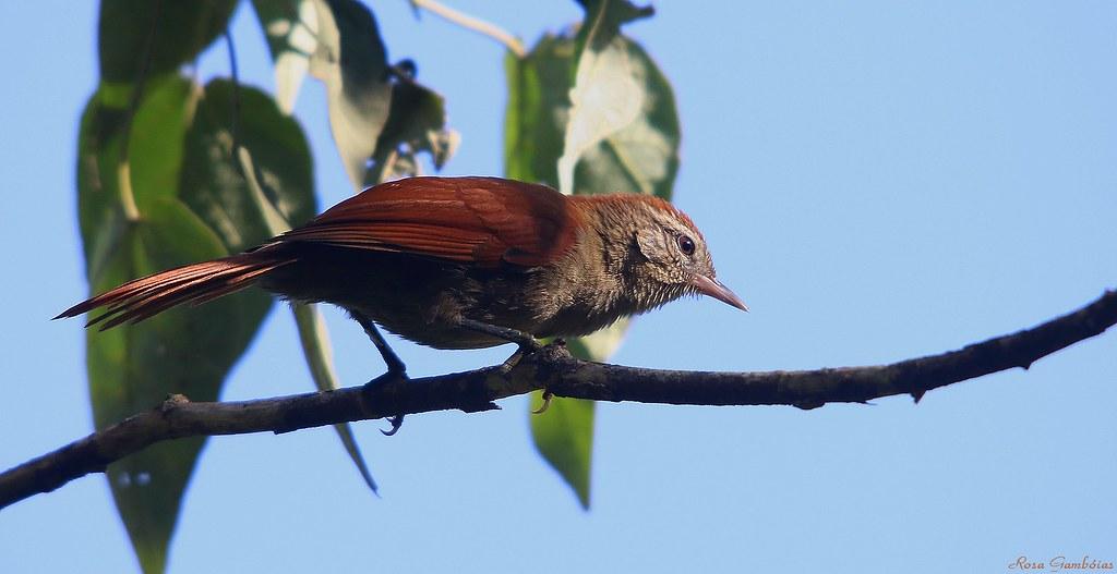 Arredio-do-rio | Rusty-backed Spinetail (Cranioleuca vulpina)