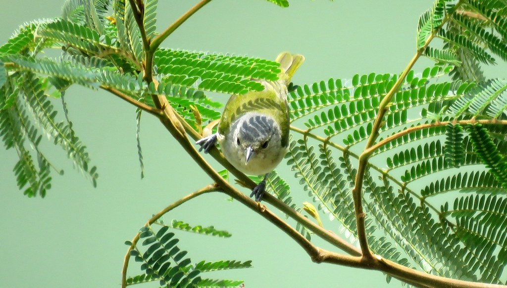 Chestnut-vented Conebill / Pico-de-Cono de Subcaudales Castañas (Conirostrum speciosum) en el Alto Tambopata, Puno