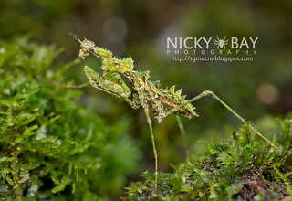Moss Mantis (Haania sp.) - DSC_6492 | by nickybay