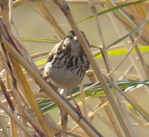 Cedar Waxwings... Wetlands  11-24-08 020_edited