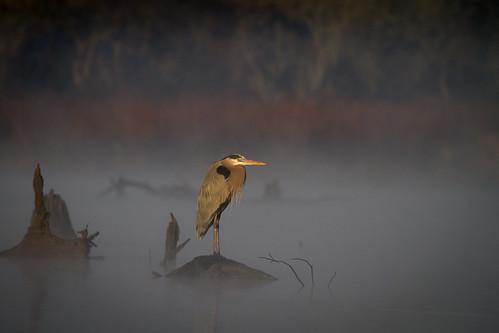nature birds texas birding pasadena greatblueheron kayakphotography gseloff horsepenbayou galvestonbayestuary dailynaturetnc12