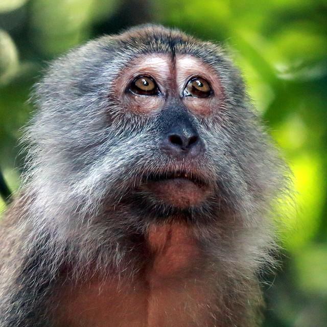 J77A3566 -- Face of a sad-looking Monkey