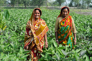 Women growing eggplant in Chitalmari, Khulna, Bangladesh. Photo by Finn Thilsted, 2012. | by WorldFish