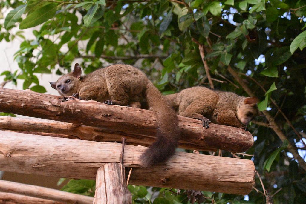 Bush babies, Kilindi Resort, Nungwi, Zanzibar (7 ...