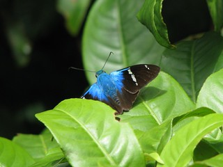 Two-barred flasher (Astraptes fulgerator)