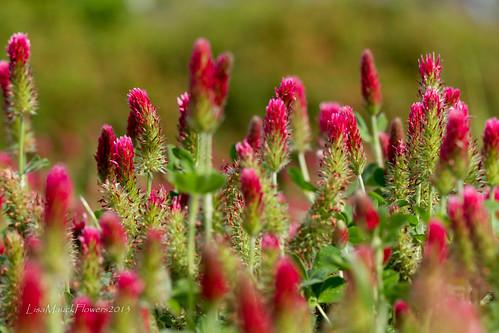 flowers landscape texas unitedstates houston bluebonnets