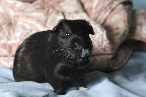 Rolf, the guinea pig