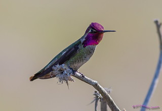 Quail Hill - Anna's Hummingbird | by Anthony OCBirds
