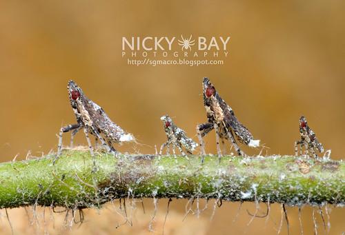 Planthoppers (Fulgoromorpha) - DSC_6946 | by nickybay