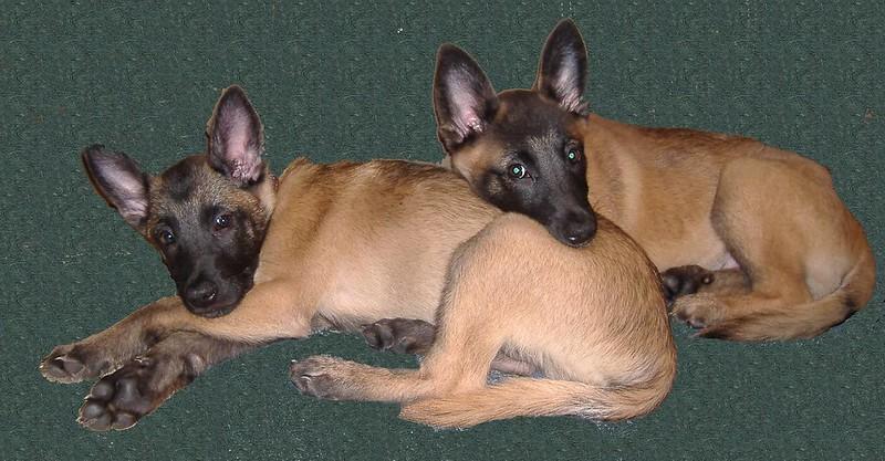 herding dog breeds belgian malinois