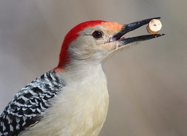 Red - bellied Woodpecker close up
