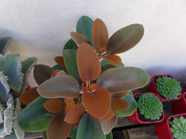 Kalanchoe orygalis / Copper Spoons