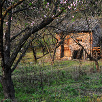 Peach Orchard 桃園